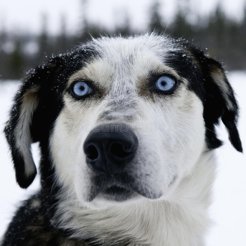 Alaskan Huskey stock photography