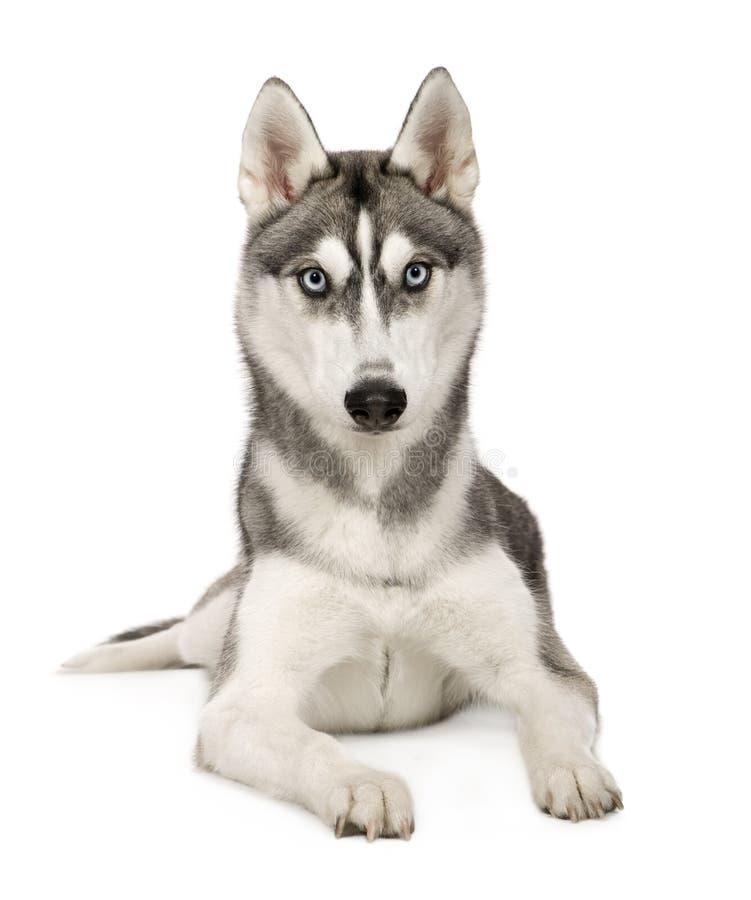 Alaskan Husky stock image