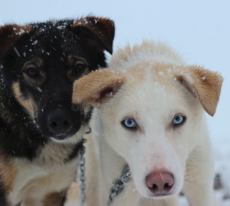 Alaskan Husky Sled dogs stock image
