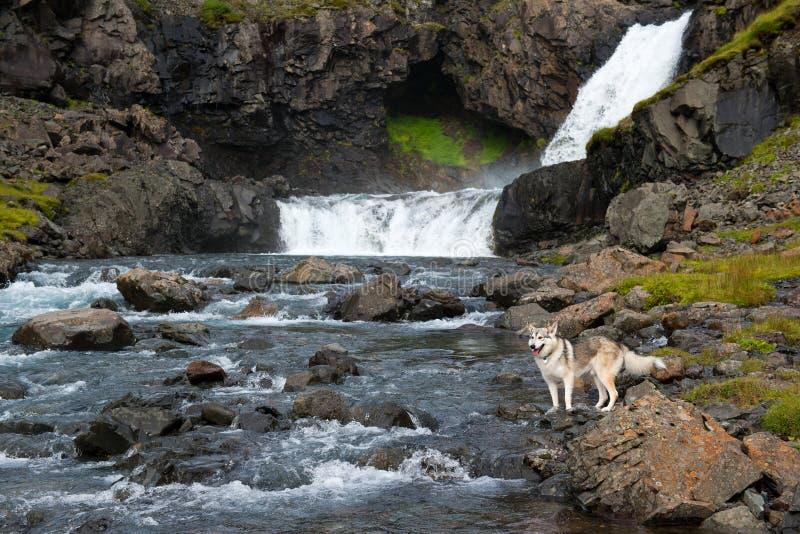 Alaskan Husky standing near the waterfall, Iceland royalty free stock photography