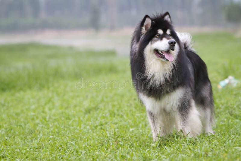 Download Alaskan Malamute stock photo. Image of guard, faces, dogs - 22974666