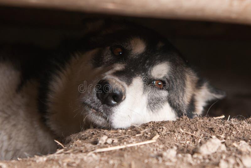 Download Alaskan malamute stock photo. Image of play, sled, breed - 26068290