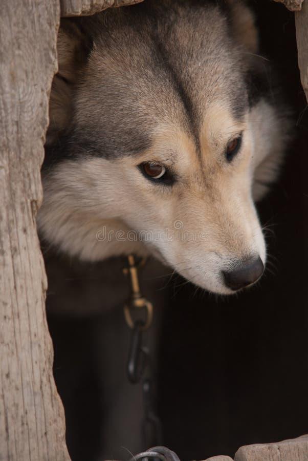 Download Alaskan malamute stock image. Image of outdoors, beautiful - 26068481