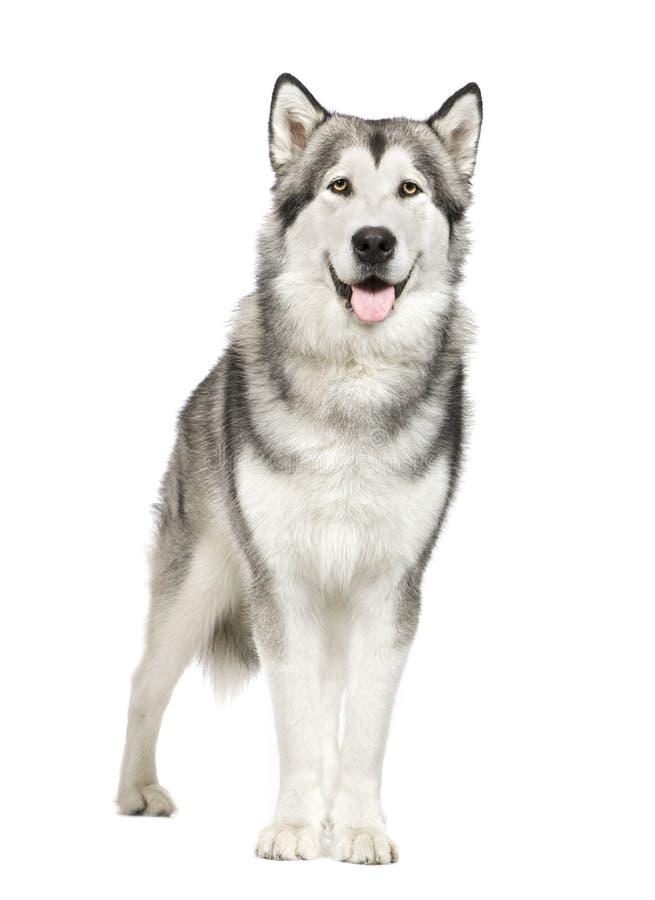 Free Alaskan Malamute () Royalty Free Stock Images - 5665739