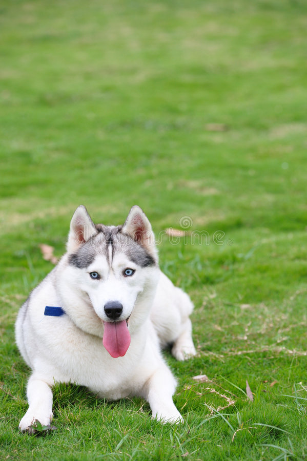 Alaskan Malamute Stock Photography