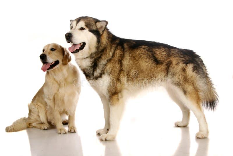Alaskan malamute dog and golden retriever