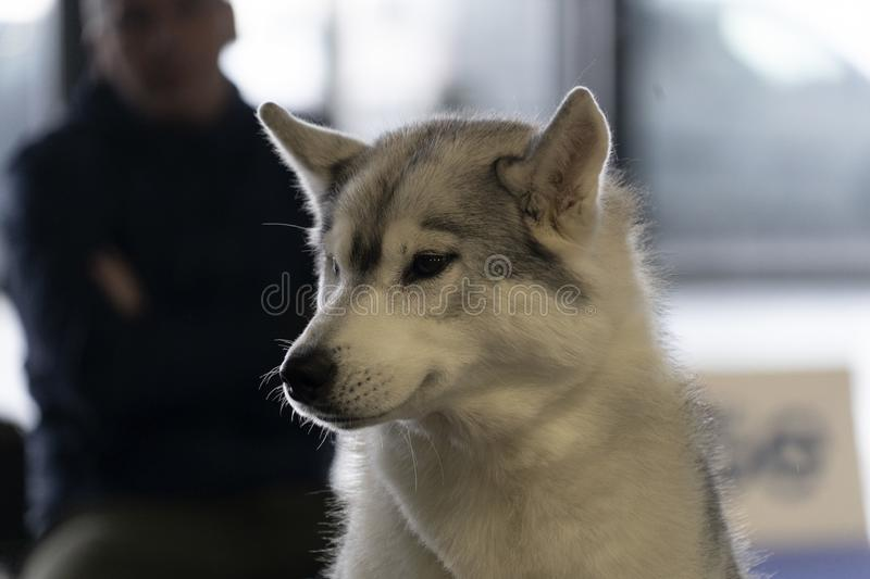 Alaskan malamute dog portrait. Look at you stock photography