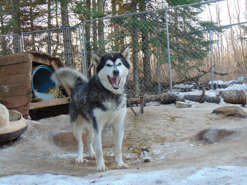 Alaskan Malamute is always happy to say hello! stock images