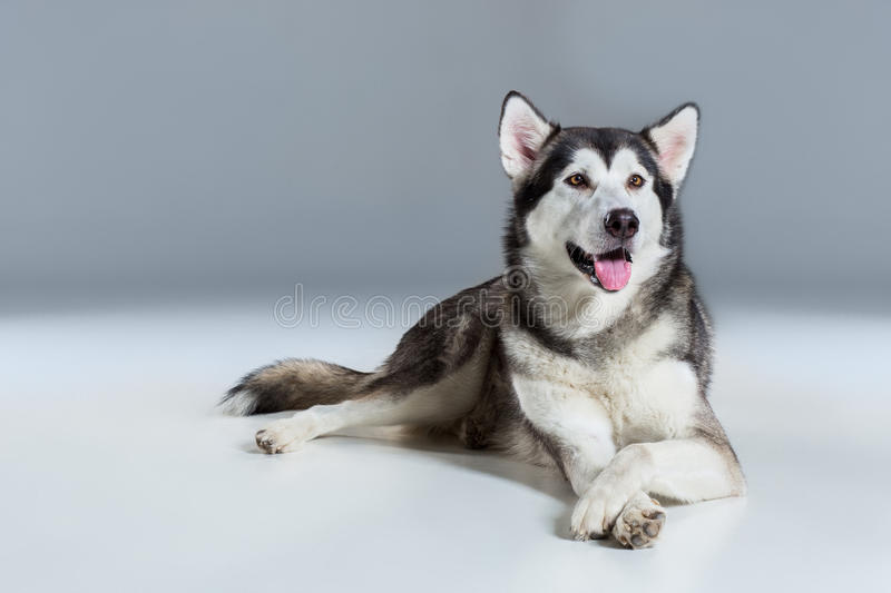 Alaskan Malamute lying on the floor, sticking the tongue out, on gray background. Husky stock photos