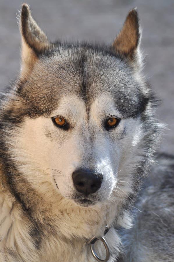 Download Alaskan Malamute Portrait stock image. Image of furry - 15120341