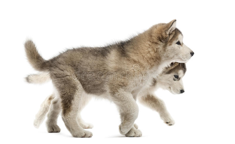 Alaskan Malamute puppies walking royalty free stock photos