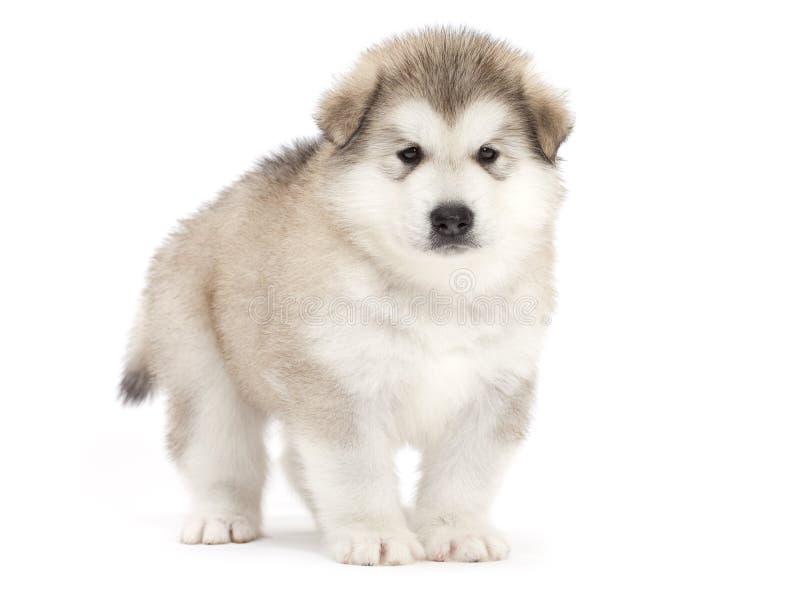Download Alaskan malamute puppy stock image. Image of fluffy, pretty - 26288645