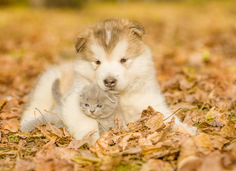 Alaskan malamute puppy embracing cute kitten in autumn park.  royalty free stock image