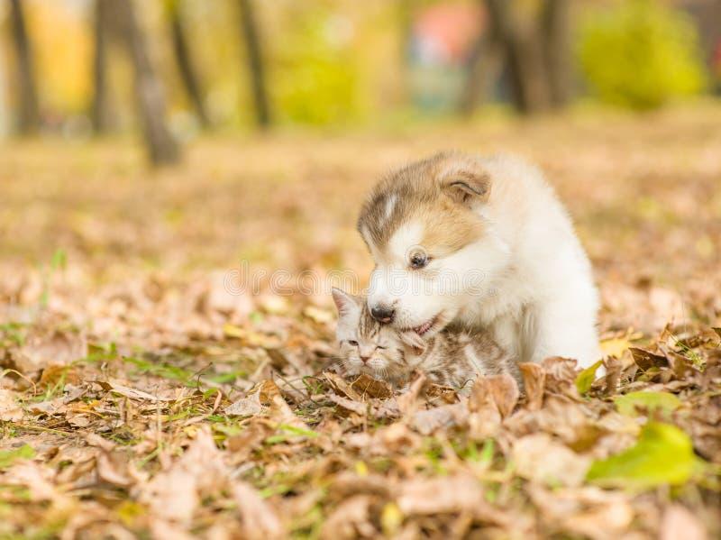 Alaskan malamute puppy licking cute tabby kitten in autumn park stock image
