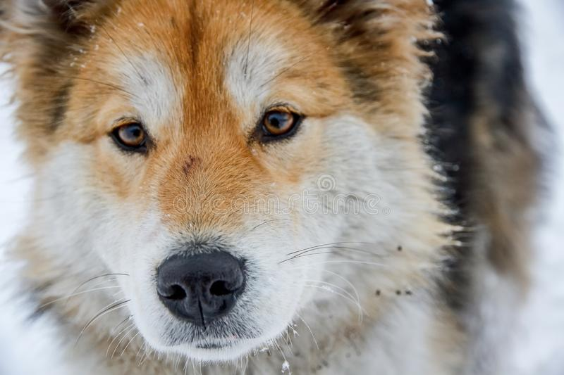 Alaskan Malamute is quite a large aboriginal type dog, designed to work in a team, one of the oldest breeds of dogs. royalty free stock photography