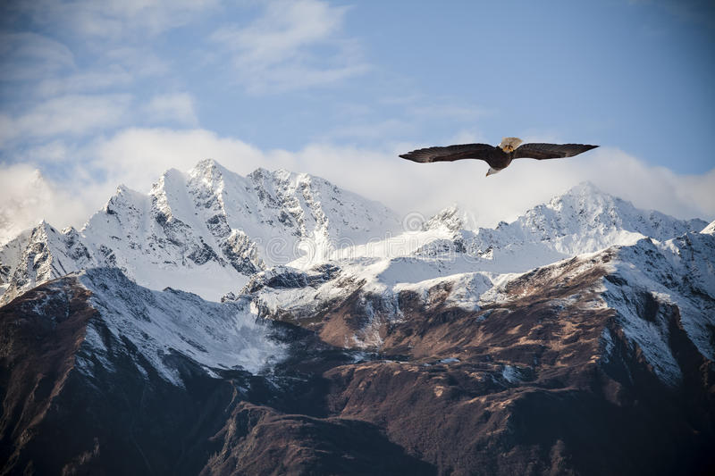 Alaskan mountains with flying eagle. Alaskan mountain peaks dusted with snow with a flying bald eagle in fall stock photo
