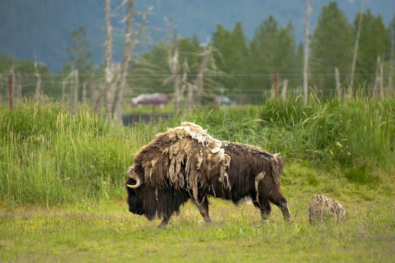 Alaskan musk royalty free stock photography