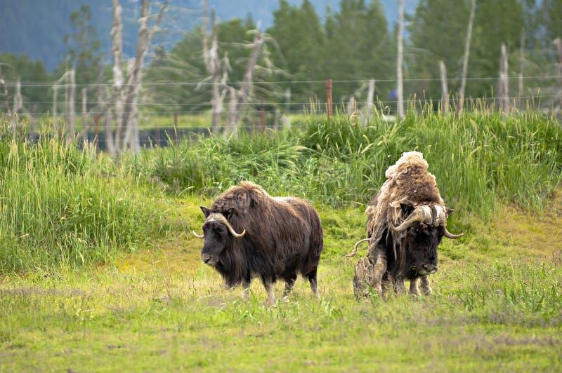 Alaskan musks stock photos
