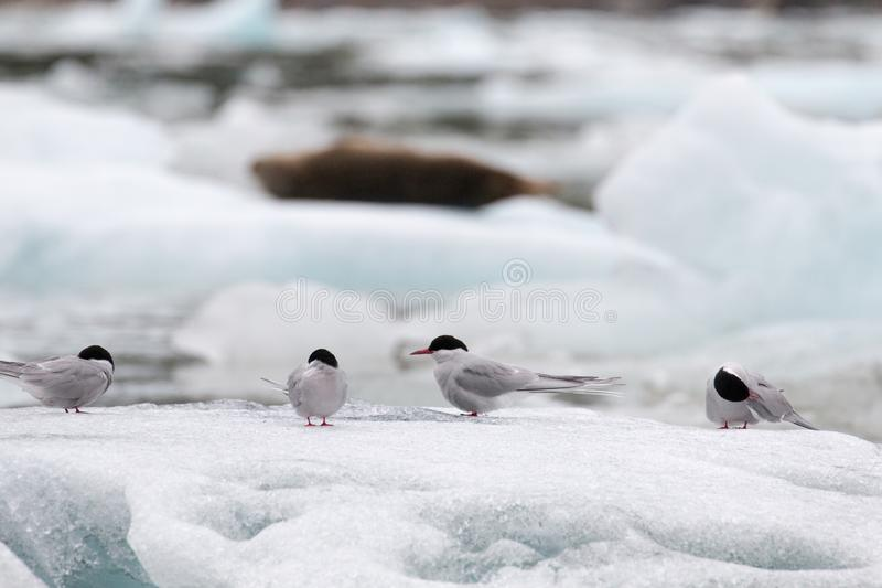 Artic Turns on Ice. Alaskan sea and ocean cruise with icebergs and glaciers home tonartic animals.4 Turns & x28;Artic Turns& x29; sitting on Ice in varied stock image