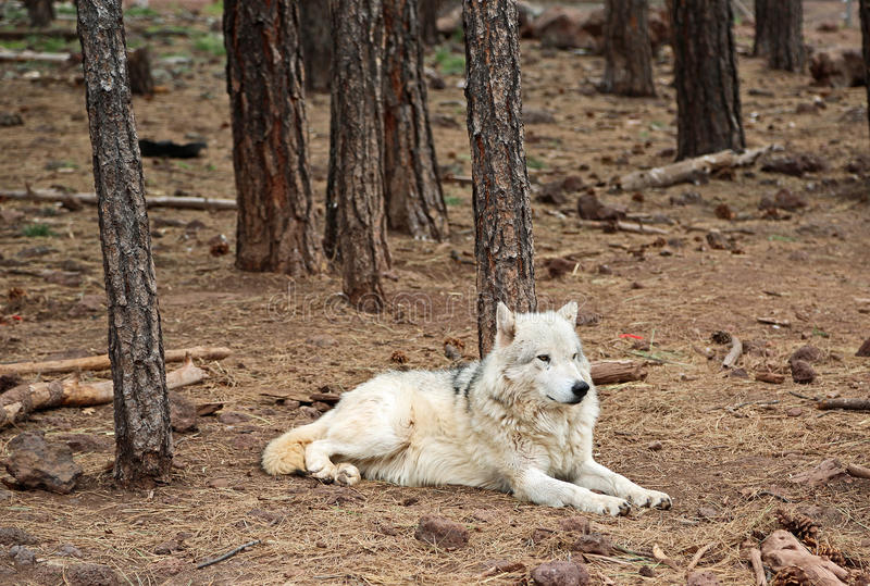 Alaskan Tundra Wolf in forest stock image