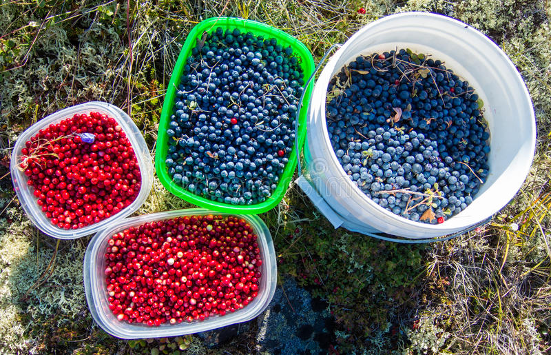 Alaskan wild berries. Four containers of wild blueberries and low-bush cranberries (lingonberries) from the Alaskan tundra stock photo