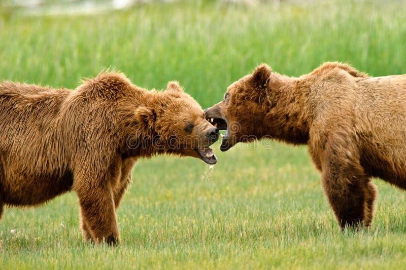 alaskan znosi walczącego grizzly fotografia royalty free