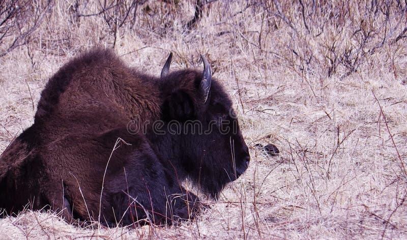 Alaski bizon zdjęcia royalty free