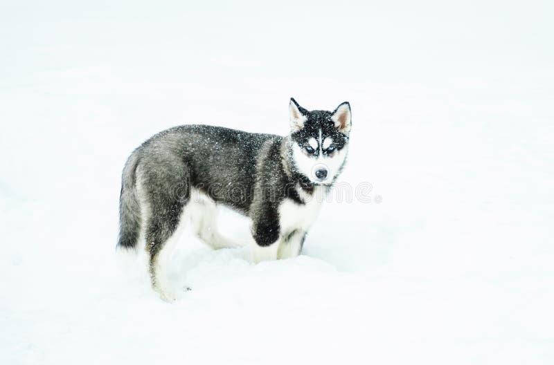 Alaski Malamute w śniegu fotografia royalty free