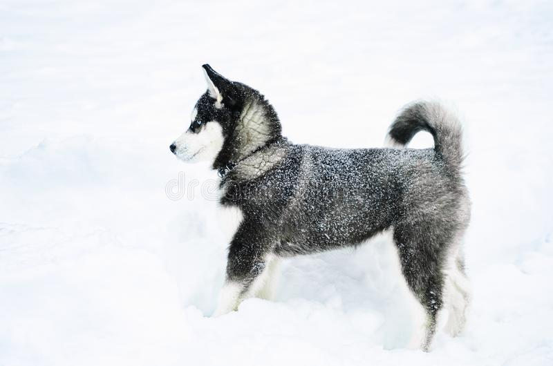 Alaski Malamute w śniegu obraz stock