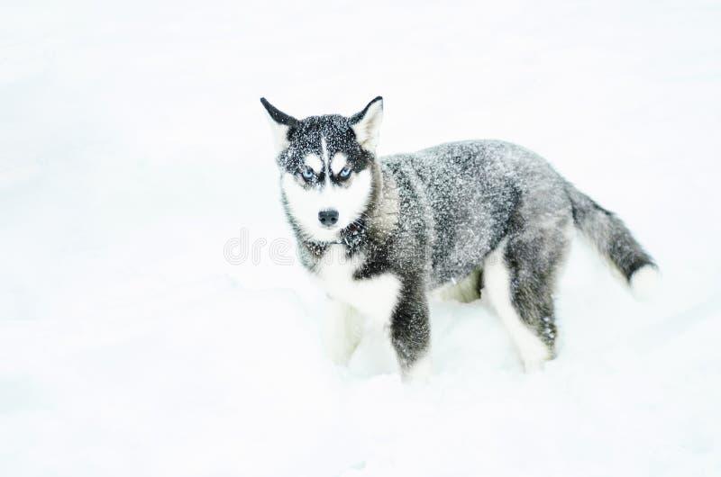 Alaski Malamute w śniegu zdjęcie stock