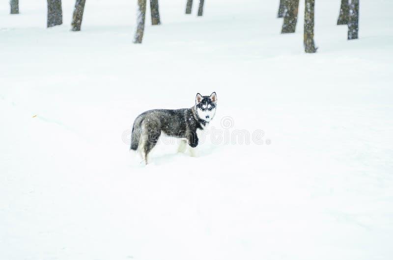 Alaski Malamute w śniegu zdjęcia stock