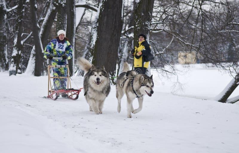 Alaskiego Malamute i Syberyjskiego husky ciągnięcia sanie zdjęcia royalty free