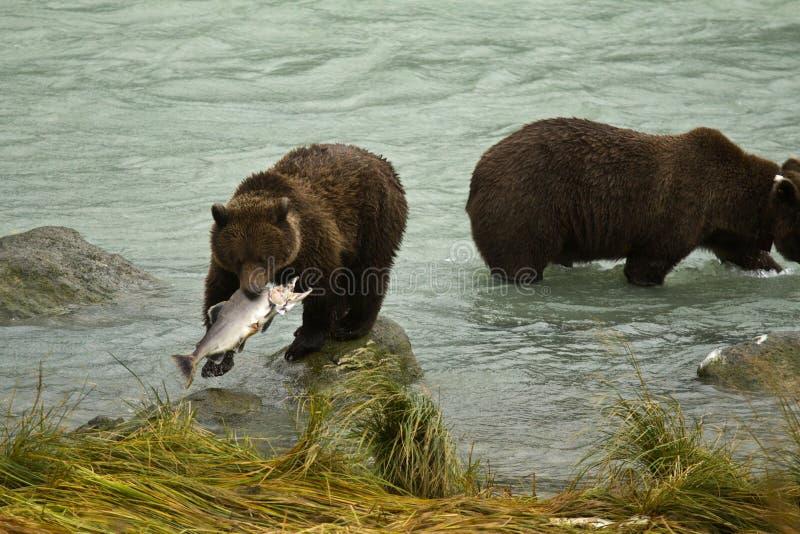 Alaskische Braunbären, die Lachse im Chilkoot-Fluss fangen lizenzfreie stockfotos