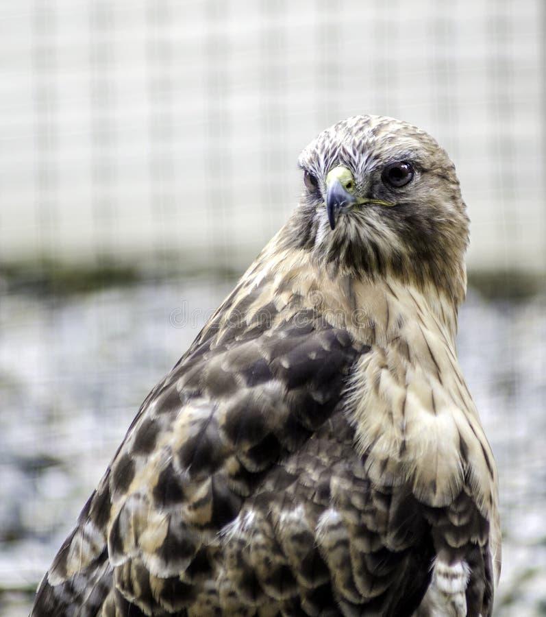 Alaskische Peregrine Falcon stockfotografie