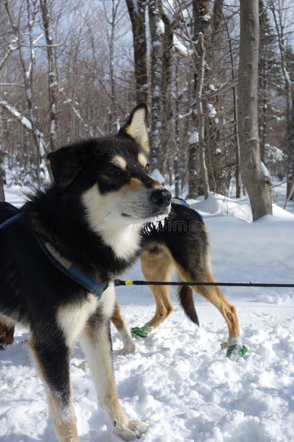 Alaskische Schlittenhunde lizenzfreie stockfotografie