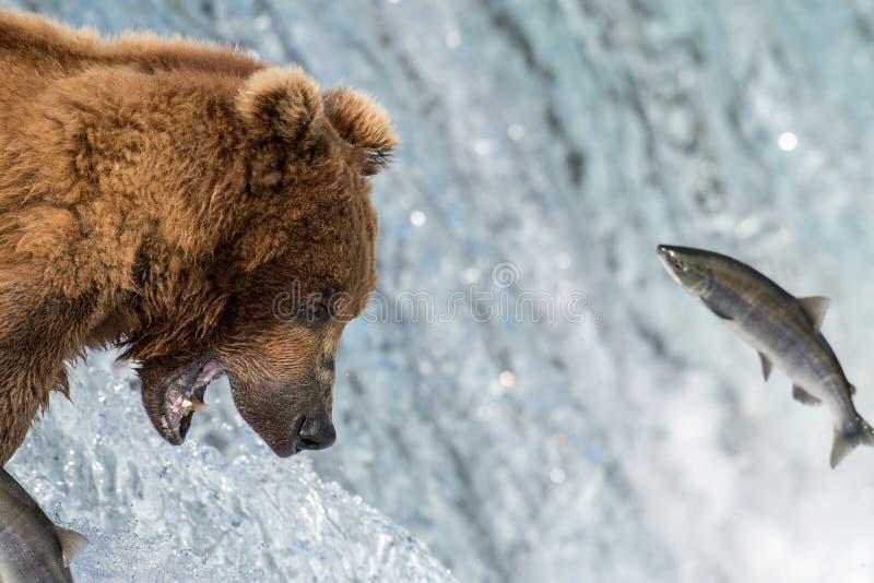 Alaskischer Braunbär, der versucht, Lachse zu fangen stockbilder