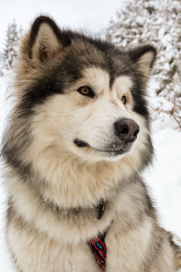 Alaskischer Malamute auf Schnee lizenzfreie stockfotografie