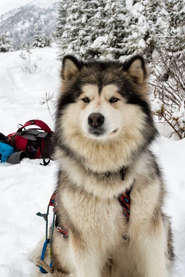 Alaskischer Malamute auf Schnee stockbilder