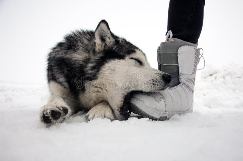 Alaskischer Malamute, der in einer Winterszene und -spielen mit Mann ` s Bein aufwirft lizenzfreies stockbild