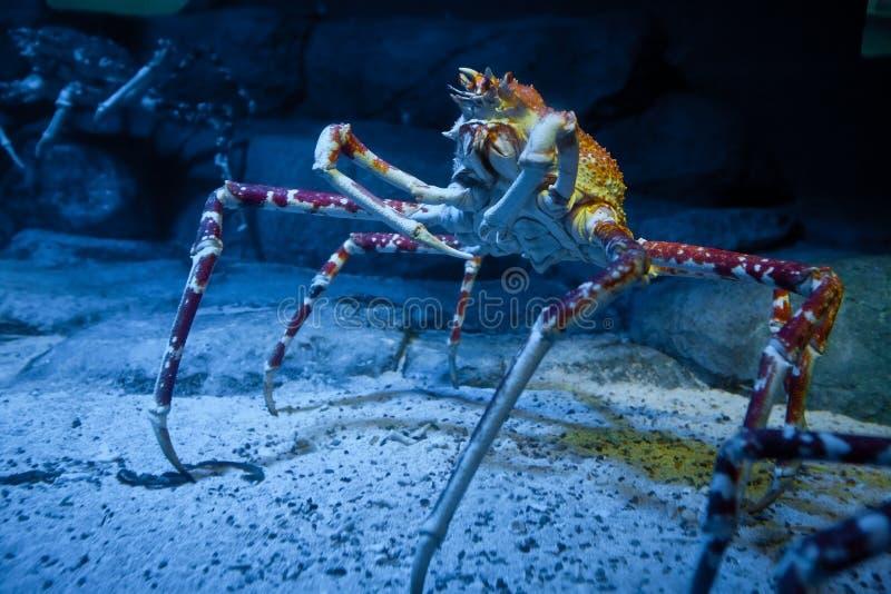 Alaskisches Krabbenexemplar im Unterwasserbehälter stockbild