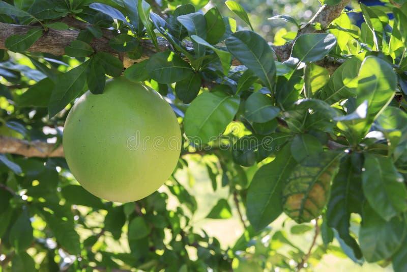 Alata Crescentia στοκ εικόνες με δικαίωμα ελεύθερης χρήσης