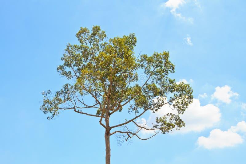 Alatus di Dipterocarpus fotografia stock libera da diritti
