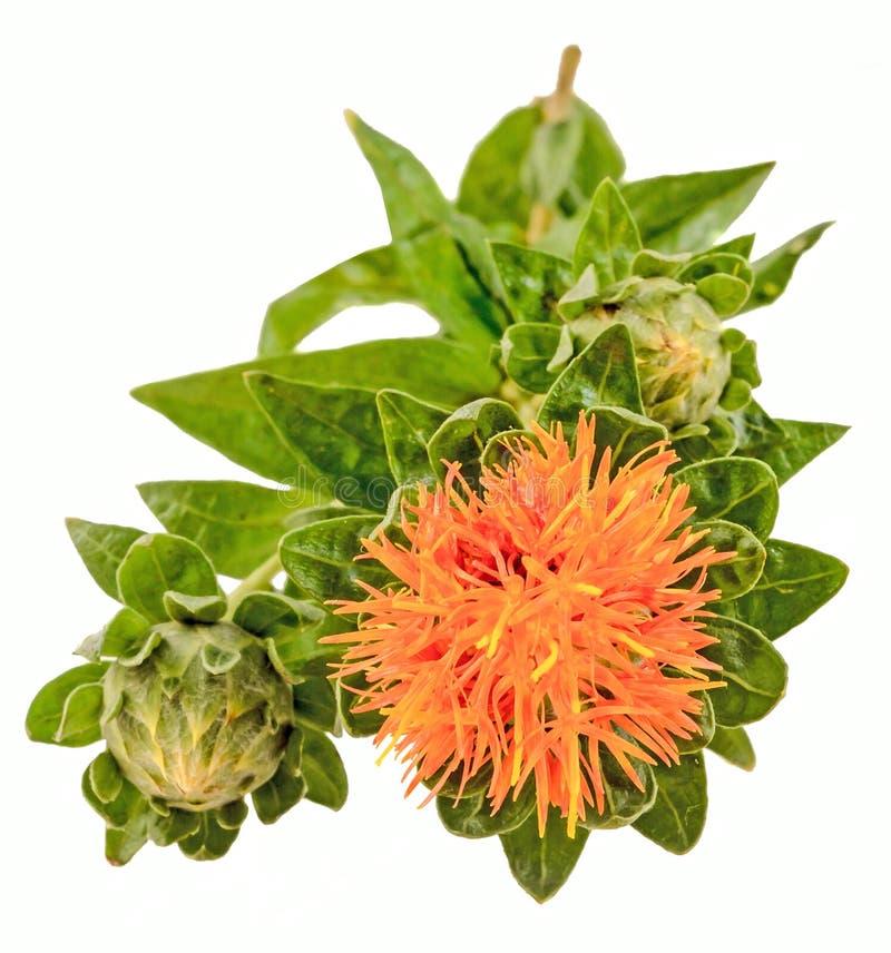 Alazor (tinctorius L del Carthamus ) es un de muchas ramas, herbáceo, cardo-como la planta anual foto de archivo libre de regalías