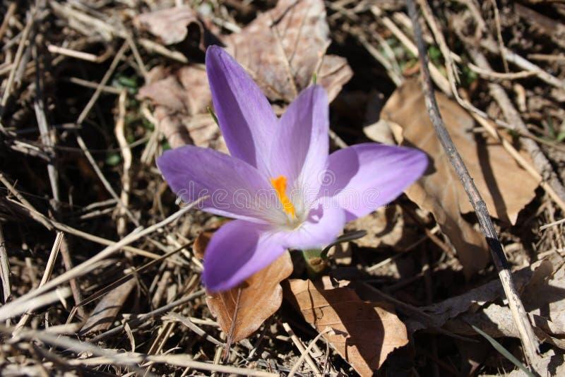 Alazor, una planta púrpura reconocible porque es similar a la flor falsa del azafrán imagenes de archivo