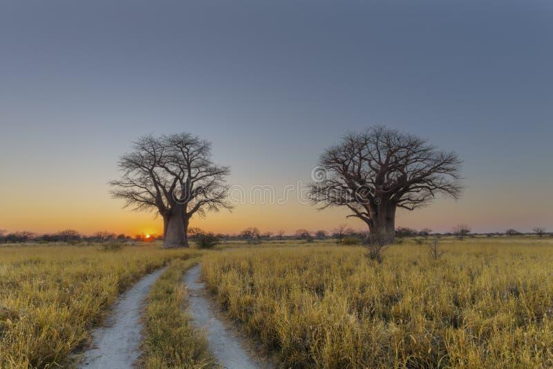 Alba agli alberi del baobab fotografia stock