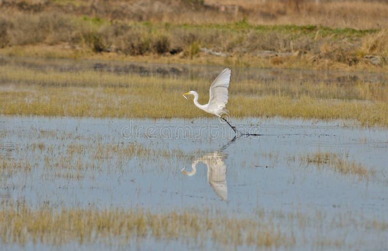 alba ardea улавливает рыб egret больших стоковые фотографии rf
