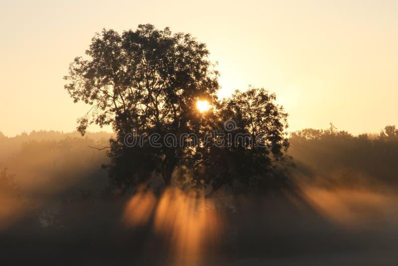 Alba attraverso la foschia e gli alberi immagine stock