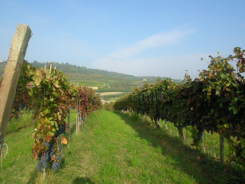 Alba Barolo vingårdar Piemonte Italien royaltyfri bild