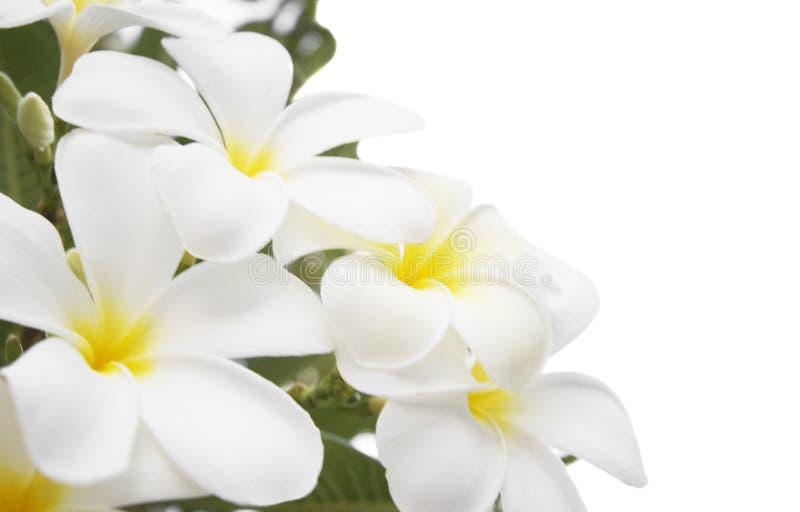 alba blommaplumeria arkivfoto