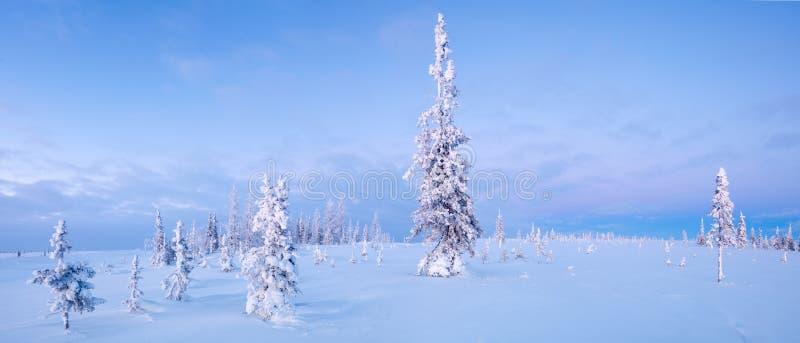 Alba blu del nord di tono di brina dell'abete rosso di panorama della foresta e della tundra di inverno fotografia stock